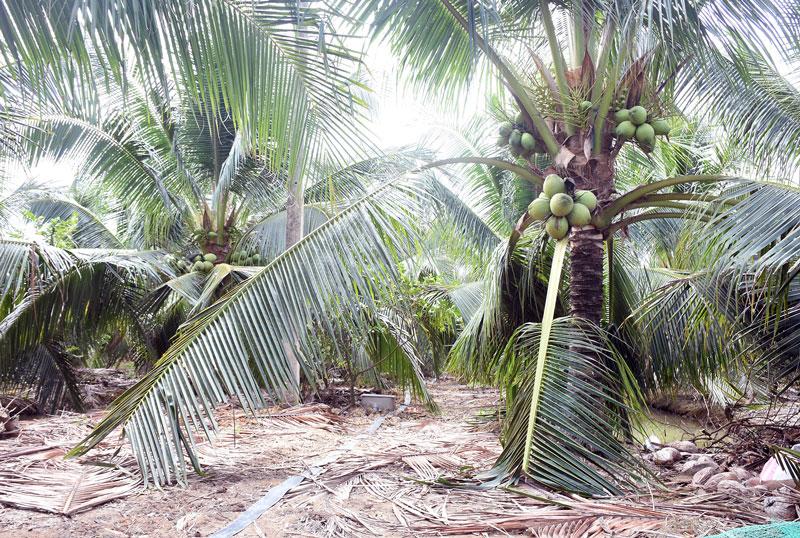 Vườn dừa xiêm xanh ở xã Hữu Định, huyện Châu Thành.