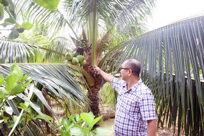 Dừa xiêm xanh là một trong những cây trồng thích ứng tốt với biến đổi khí hậu.