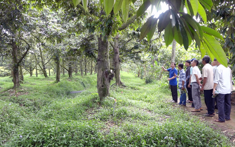 Tham quan mô hình vườn sầu riêng của thành viên CLB ứng phó tốt với hạn mặn.