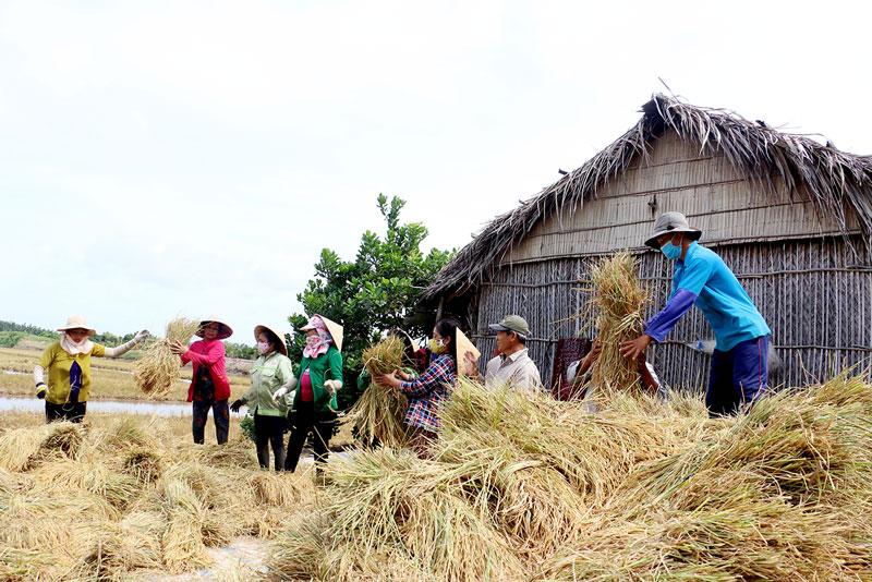Thu hoạch lúa ở Hợp tác xã tôm - lúa Thạnh Phú. Ảnh: Viết Duyên