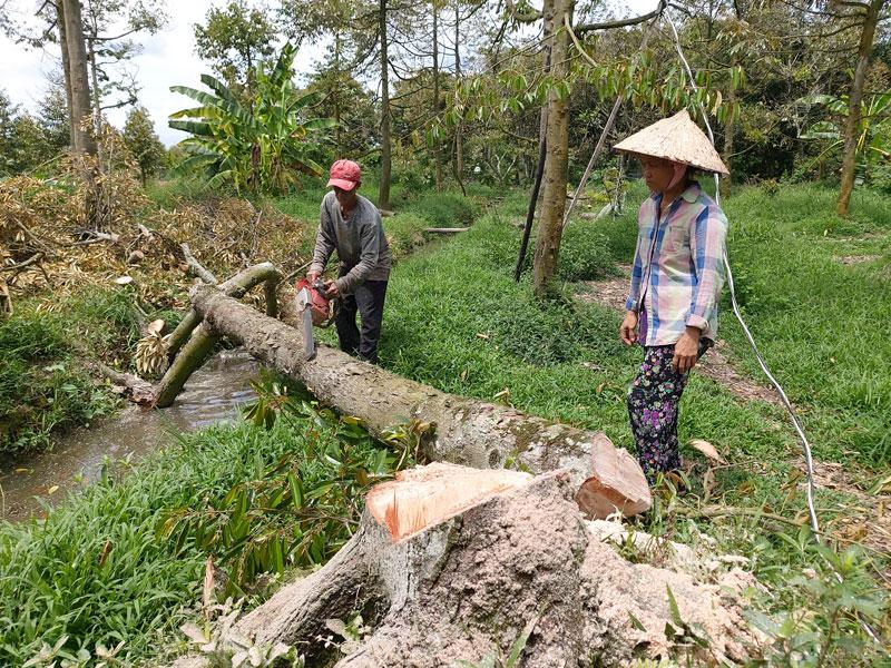 Bà Cao Thị Hồng Diêu, xã Tân Phú, huyện Châu Thành thuê người đốn bỏ sầu riêng bị chết do nhiễm mặn để trồng lứa sầu riêng mới.