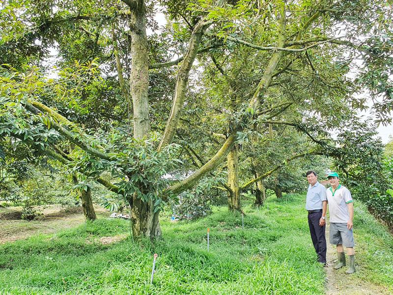 Vườn sầu riêng VietGAP của ông Lê Văn Hùng phát triển tốt sau hạn mặn.