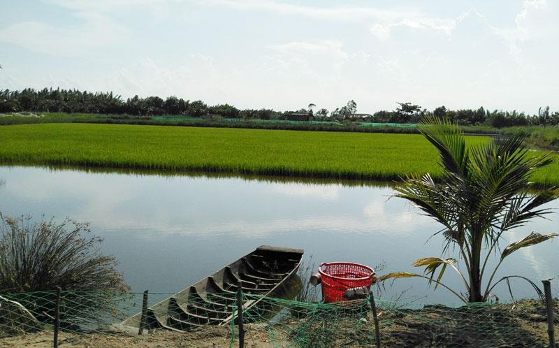 Ao nuôi thực hiện mô hình nuôi tôm càng xanh toàn đực xen trong ruộng lúa và luân canh tôm sú sinh thái. Ảnh: CTV