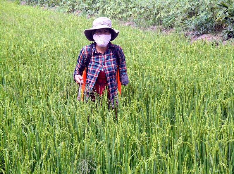 Chị Trần Thị Thảo trên đồng lúa xanh tốt.