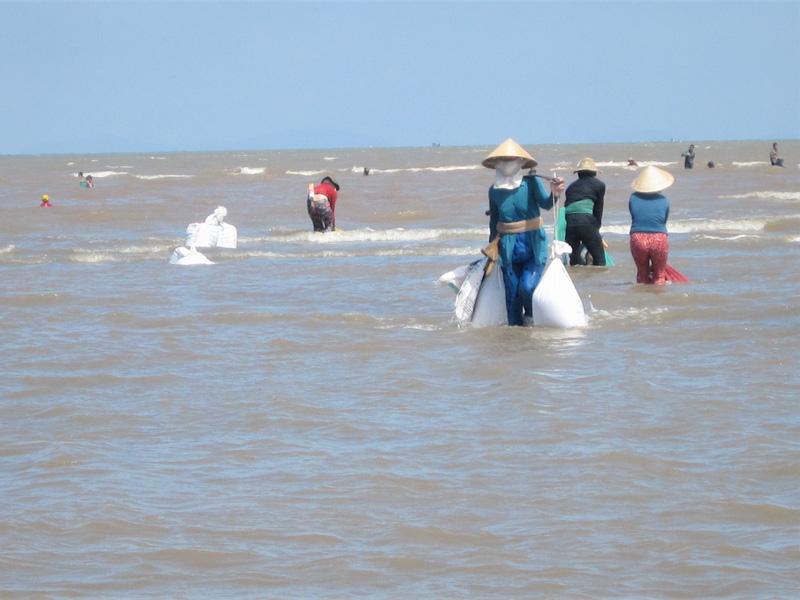 Khai thác nghêu giống tại bãi nghêu HTX Thủy sản Đồng Tâm.
