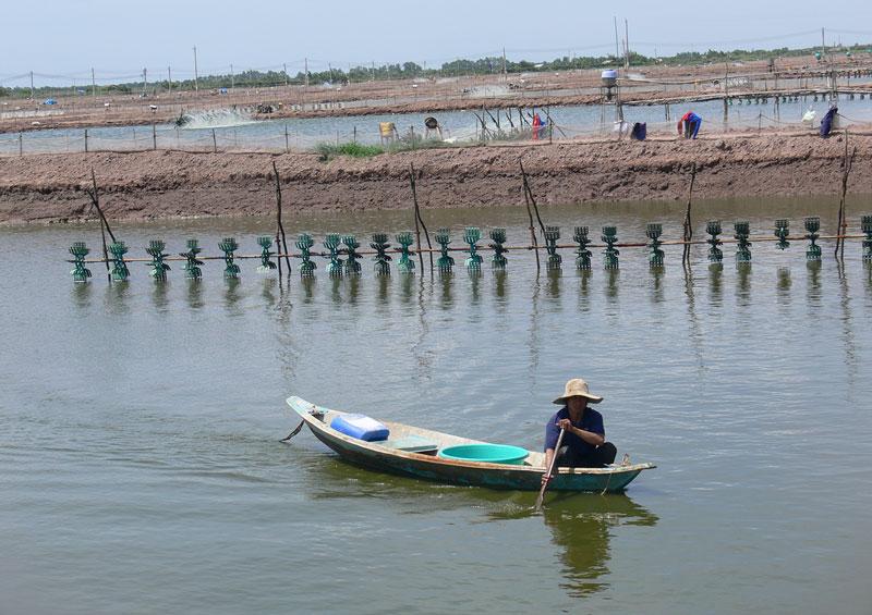 Nuôi tôm công nghiệp tại xã Tân Thủy (Ba Tri).
