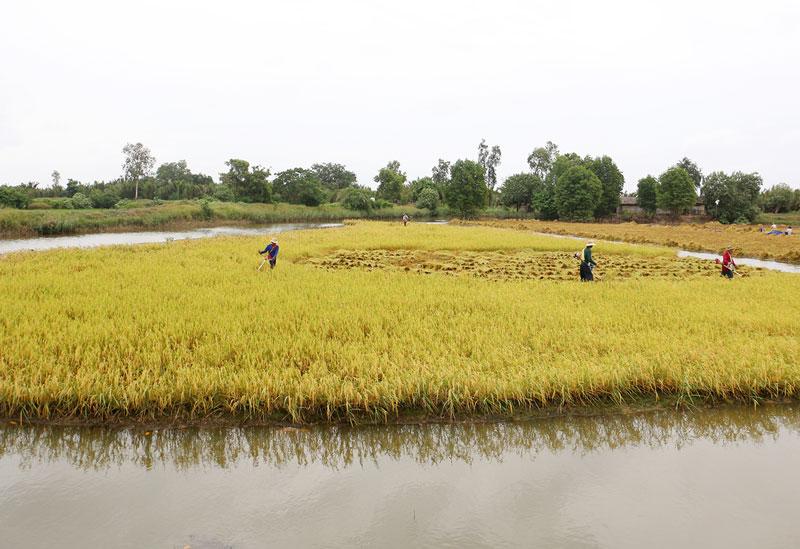 Mô hình tôm - lúa ở huyện Thạnh Phú.