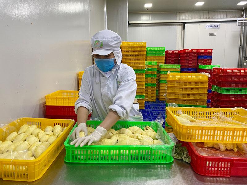 Đóng gói trái cây xuất khẩu tại Công ty TNHH XNK trái cây Chánh Thu, huyện Chợ Lách.