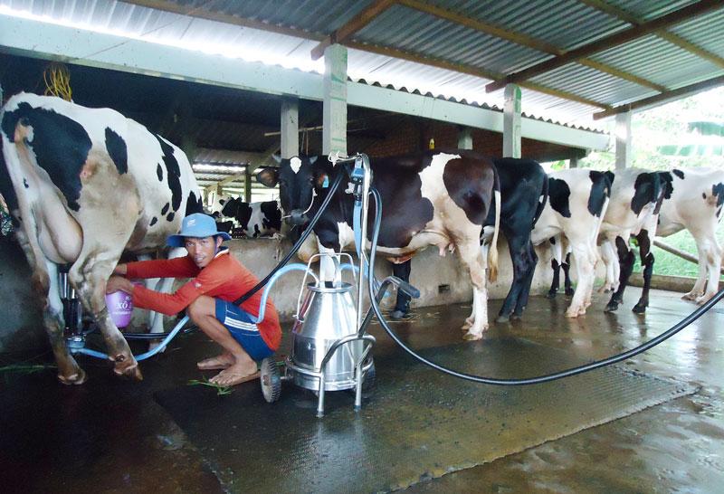 Xã đang phát triển mô hình nuôi bò sữa.