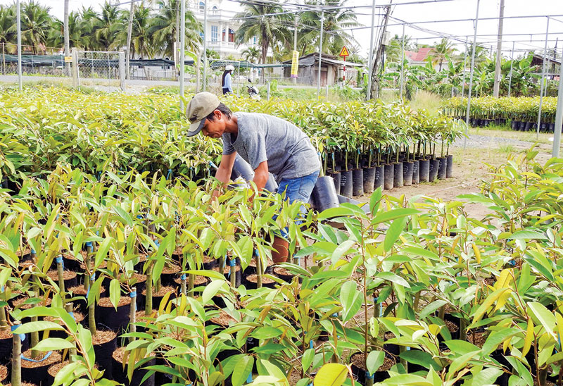 Cơ sở sản xuất cây giống sầu riêng ở xã Long Thới, huyện Chợ Lách. Ảnh: T. Đồng