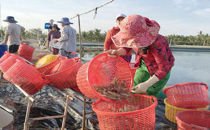 Thu hoạch tôm thẻ chân trắng ở huyện Bình Đại. Ảnh: Hoàng Trung