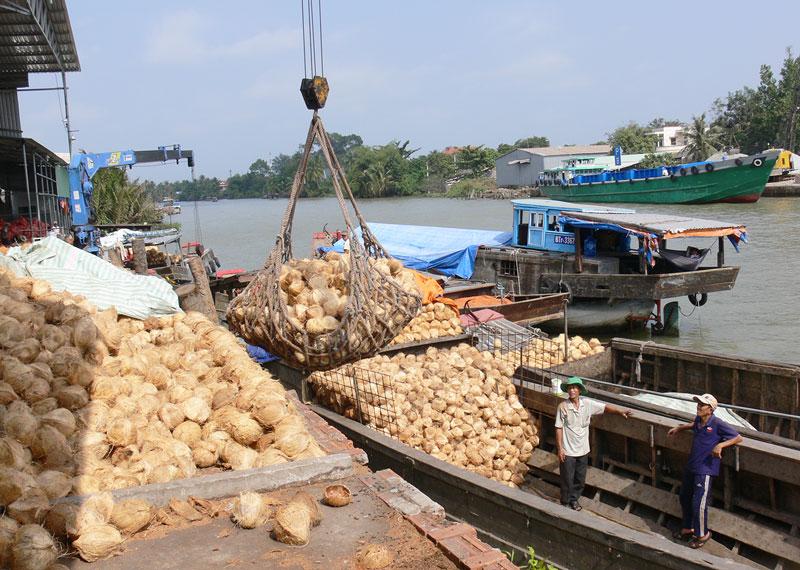 Nguồn nguyên liệu dừa hữu cơ của Hợp tác xã cung cấp cho Công ty TNHH chế biến dừa Lương Quới. Ảnh: T. Huyền