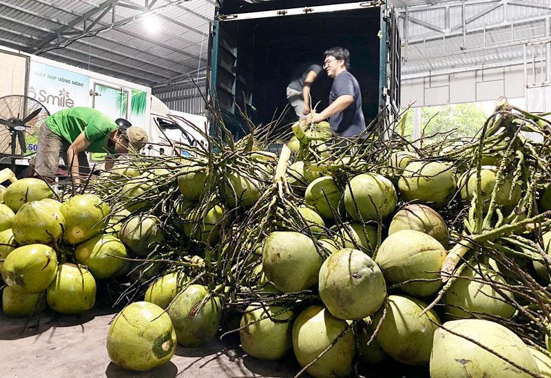 Tuyển chọn dừa trái để đưa vào sơ chế xuất khẩu mang thương hiệu Dừa Cười (Coco Smile).
