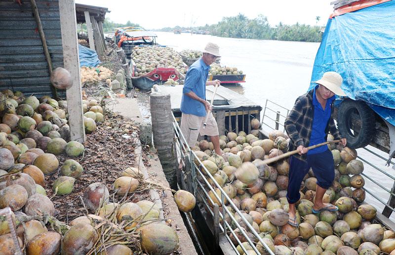 Hoạt động vận chuyển dừa bên bờ sông Thom, xã An Thạnh, huyện Mỏ Cày Nam.