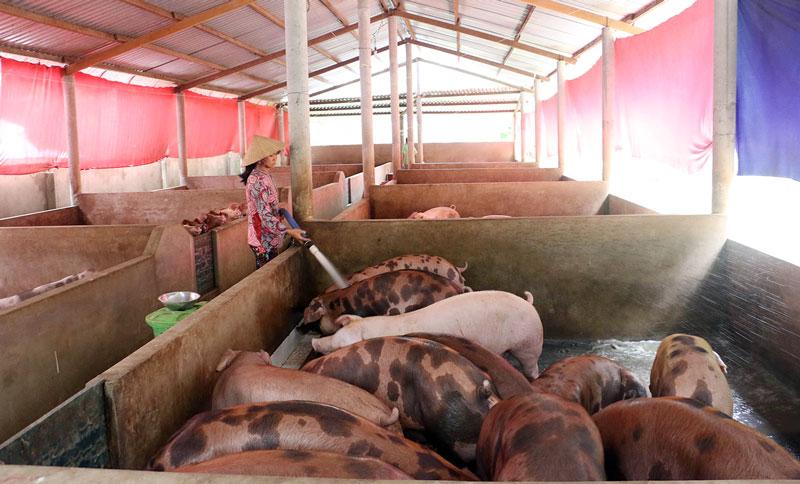 Chăn nuôi heo đảm bảo an toàn sinh học và không gây ô nhiễm môi trường.