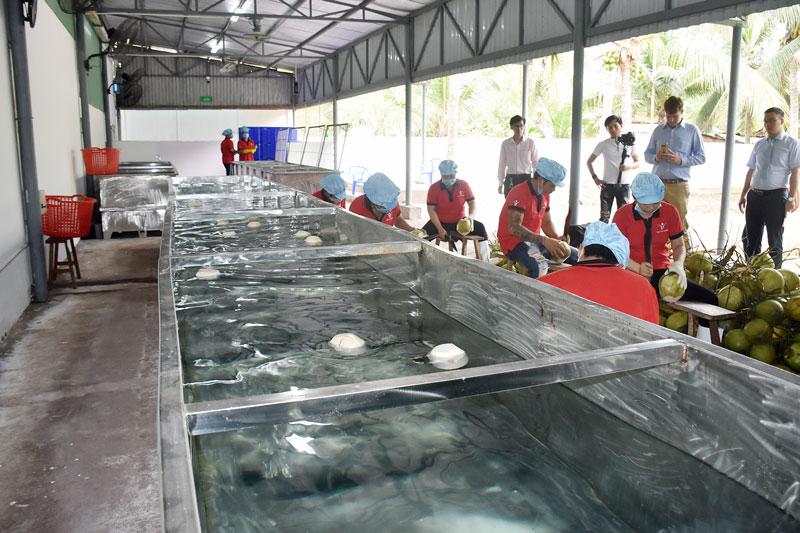 Công ty TNHH TM-DV XNK Vina T&T Group sơ chế dừa trái xuất khẩu tại huyện Châu Thành.