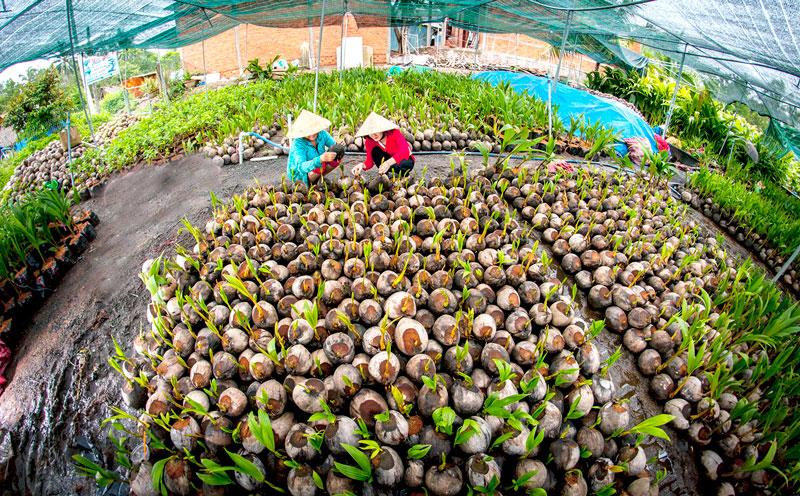 Nghề làm dừa kiểng xã Vĩnh Thành (Chợ Lách). Ảnh: Nguyễn Dừa