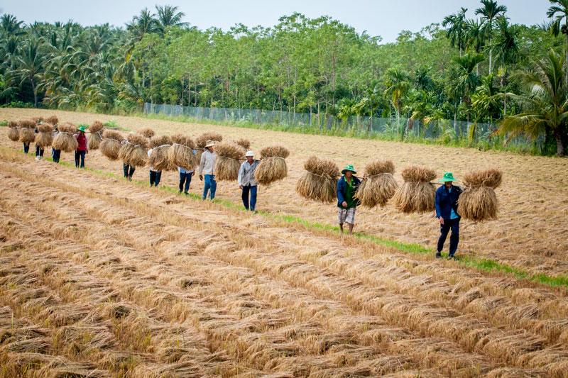 Gánh lúa về nhà sau mùa thu hoạch. Ảnh: Nguyễn Dừa