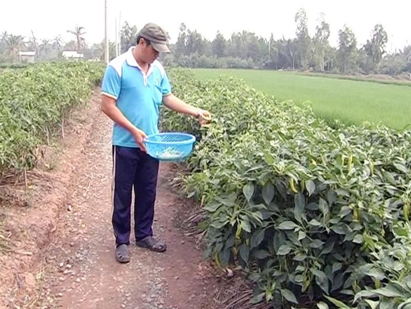 Nông dân trồng hoa màu trên cù lao đất.  Ảnh: Trần Xiện