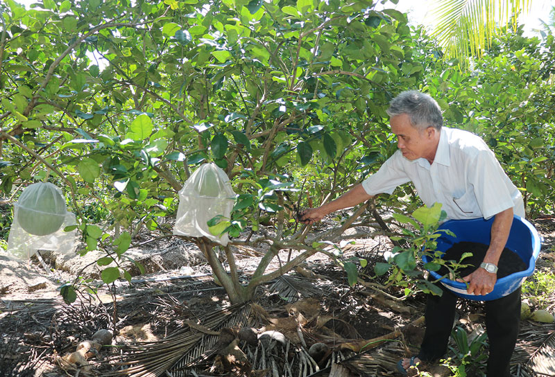 Ông Nguyễn Văn Phước, ấp Tân Hậu 1, xã Tân Trung bón phân hữu cơ cho bưởi da xanh.  Ảnh: Thạch Thảo