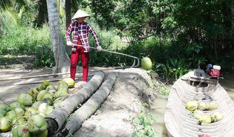 Nếu chăm sóc tốt cây dừa sẽ phục hồi nhanh sau hạn mặn.