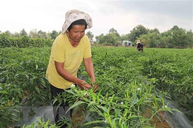 Gia đình bà Thạch Thị Sô Kha, xã Long Sơn, huyện Cầu Ngang vừa thoát nghèo năm 2020 nhờ nguồn vốn vay ưu đãi để trồng ớt và nuôi bò. Ảnh: Thanh Hòa/TTXVN