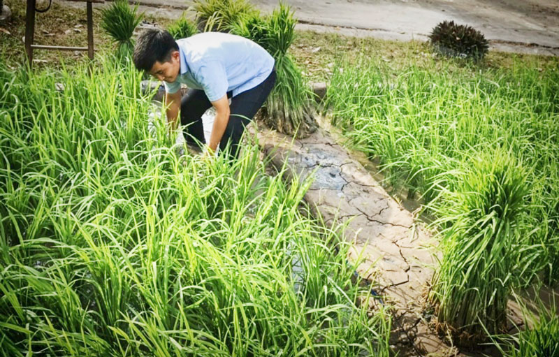 Chuẩn bị tiểu cảnh ruộng lúa tại Bảo tàng Bến Tre. Ảnh: Nguyễn Sự