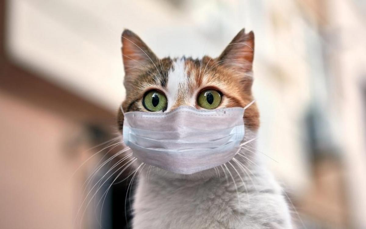 Mèo đeo khẩu trang thời Covid. Ảnh: Scitechdaily