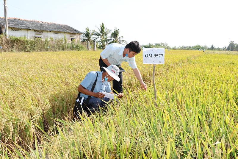 Các giống lúa chống chịu mặn được nông dân quan tâm trong tình hình xâm nhập mặn ngày càng gay gắt.