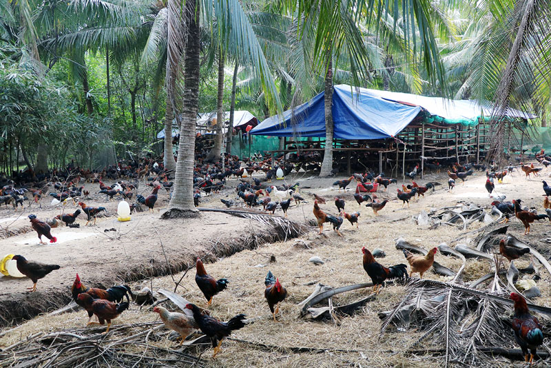 Chăn nuôi gia súc, gia cầm phải di dời khỏi khu vực thành thị và khu dân cư.