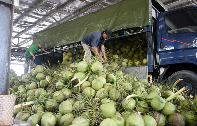 Công ty TNHH XNK trái cây Mekong thu mua dừa nguyên liệu trong vùng liên kết.