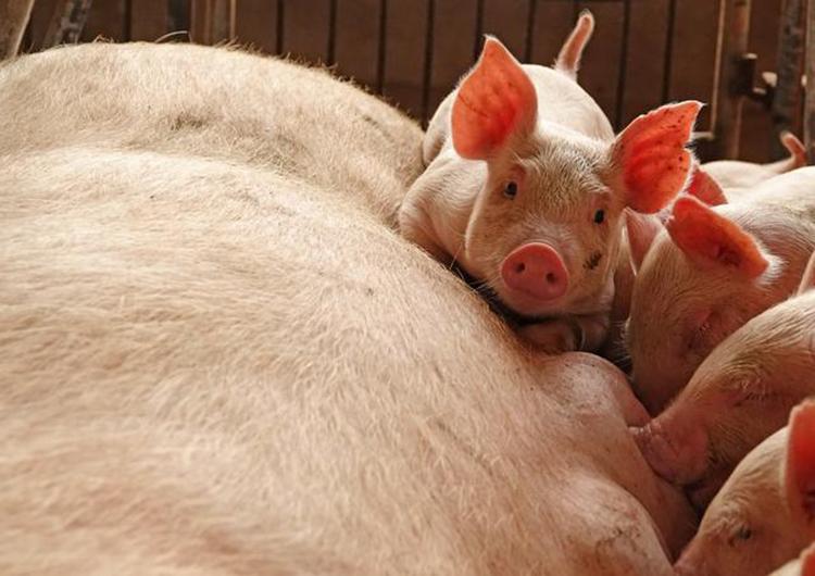 Trung Quốc đã phát hiện biến thể mới của virus gây dịch tả lợn châu Phi. Ảnh: Reuters