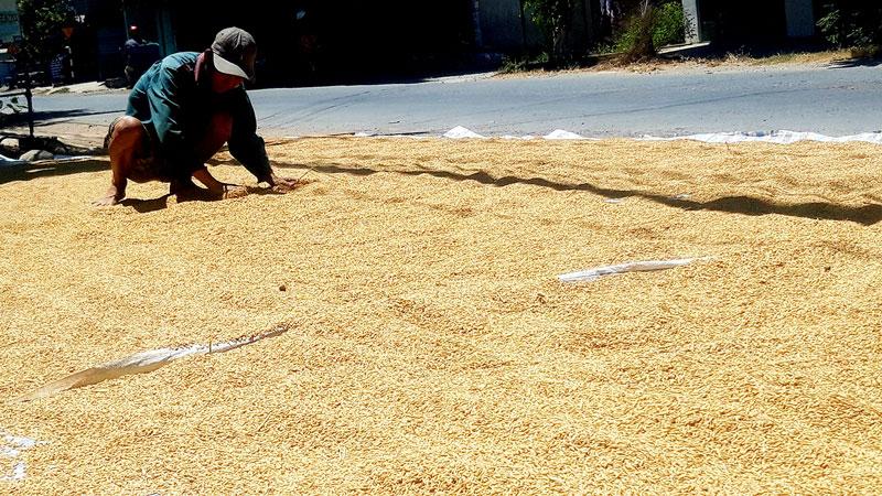 Nông dân phơi lúa sau thu hoạch.