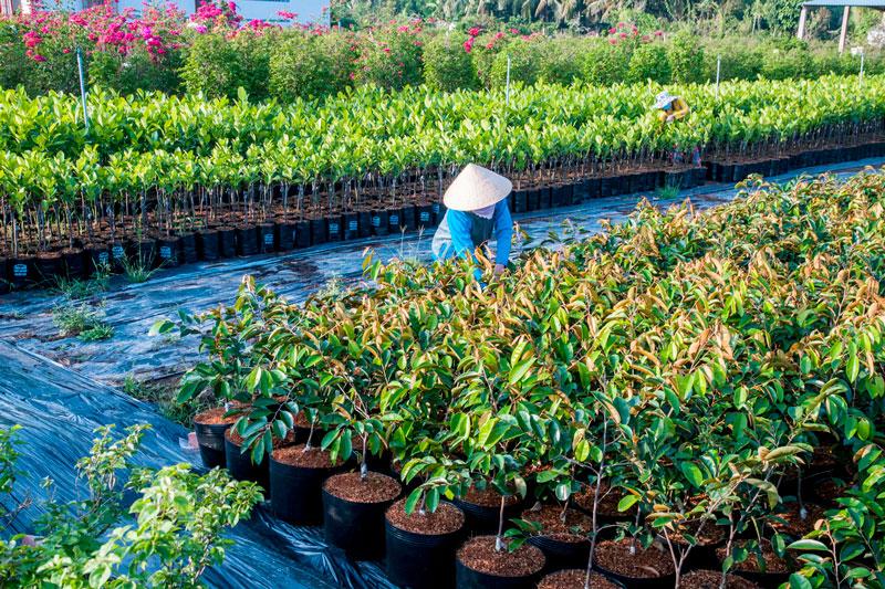 Nghề ươm cây giống Cái Mơn (Chợ Lách). Ảnh: Nguyễn Dừa