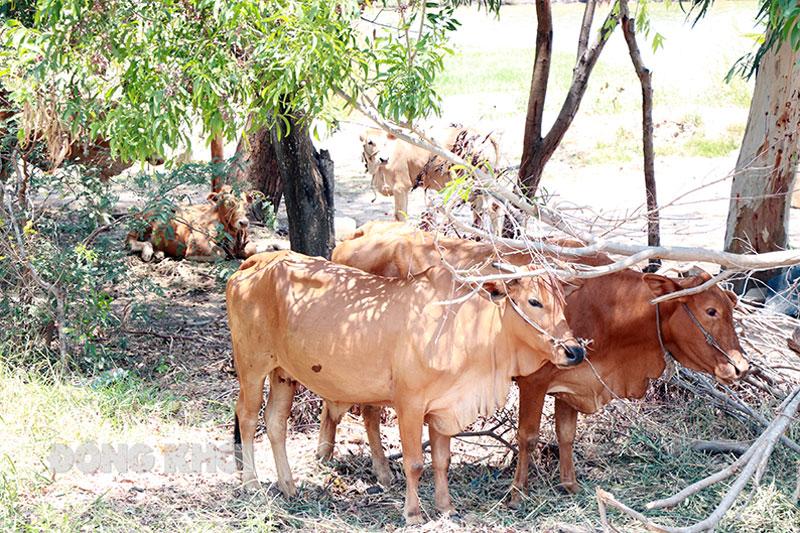 Đàn bò ở huyện Thạnh Phú không phát hiện viêm da nổi cục.