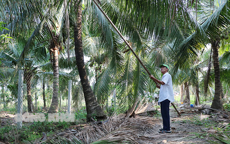 Người dân xã Hữu Định, huyện Châu Thành cắt tỉa tàu dừa bị sâu ăn cháy lá.