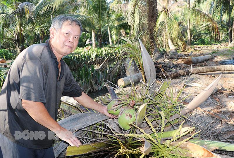 Nông dân xã Đa Phước Hội, huyện Mỏ Cày Nam đốn bỏ dừa do cây bị sâu đầu đen phá hại toàn bộ lá, trái.