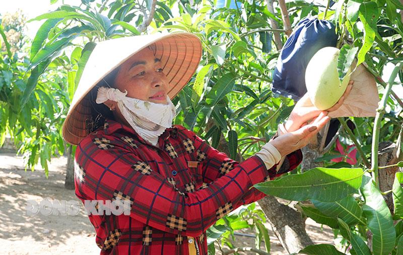 Bà Lê Thị Tuyết Nga trồng xoài theo chuẩn GlobalGAP.