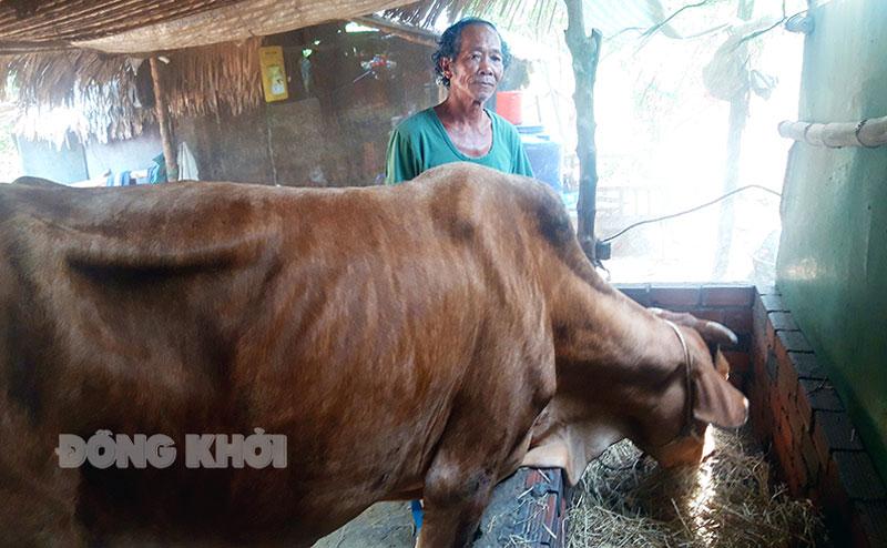 Ông Trần Văn Dô chăm sóc đàn bò của gia đình.