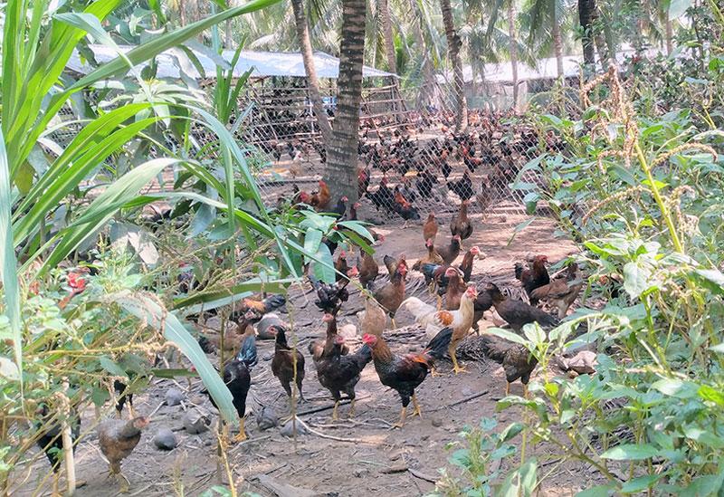 Ông Thương nuôi gà với số lượng rất lớn đã gây ô nhiễm môi trường. Ảnh: PV