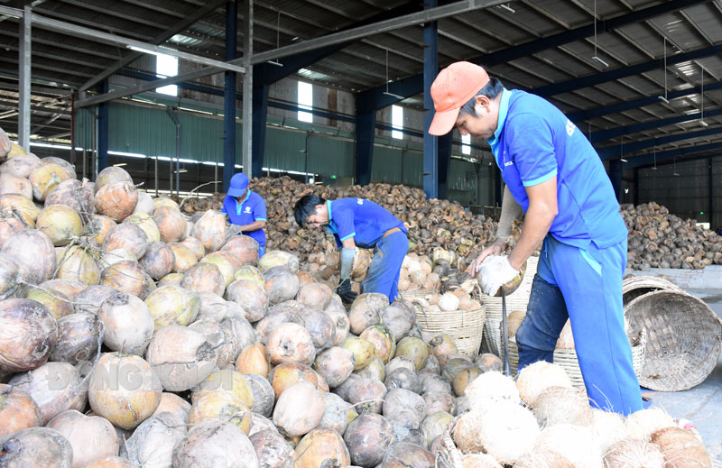 Chế biến sản phẩm dừa xuất khẩu tại Cụm công nghiệp Phong Nẫm, Giồng Trôm. Ảnh: Cẩm Trúc