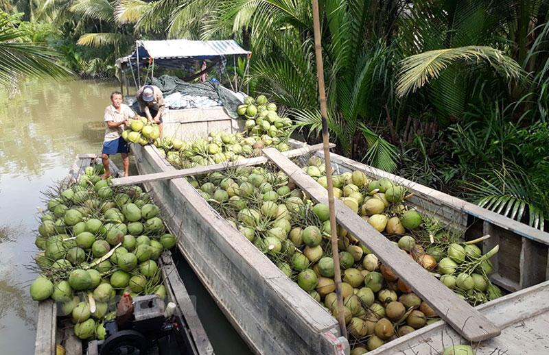 Người dân xã Châu Hòa thu hoạch dừa. Ảnh: Kim Phụng