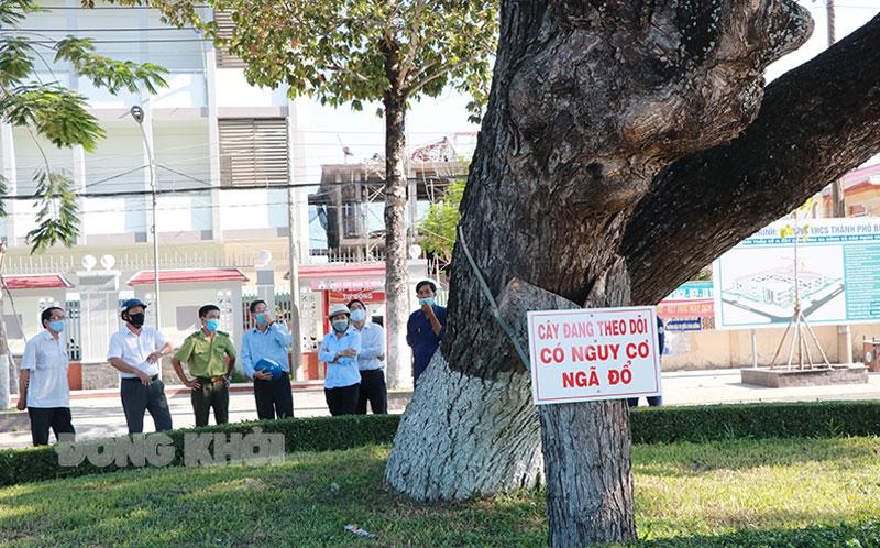 Cây me tây mang số 36 có nguy cơ ngã đỗ đã được theo dõi nhiều năm.