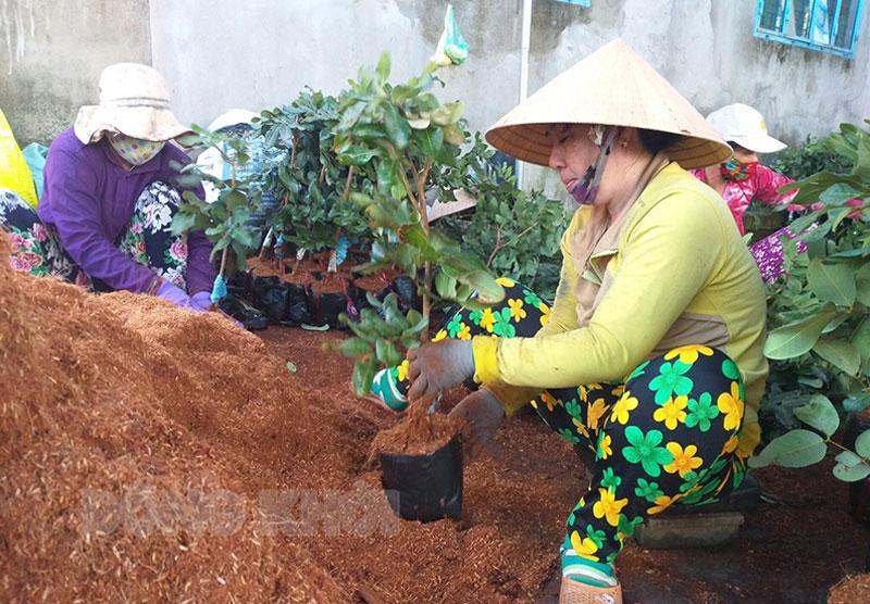Nghề sản xuất cây giống ở Chợ Lách cần một lượng lớn lao động nông thôn. Ảnh: Thanh Đồng