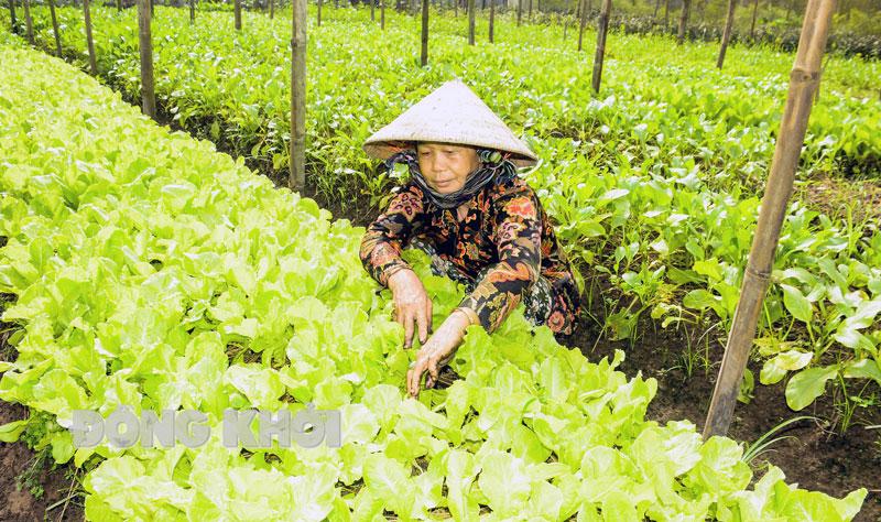 Bà Nguyễn Thị Bé ở ấp An Vĩnh 1, xã Đa Phước Hội đang chăm sóc rau xà lách trong nhà lưới.