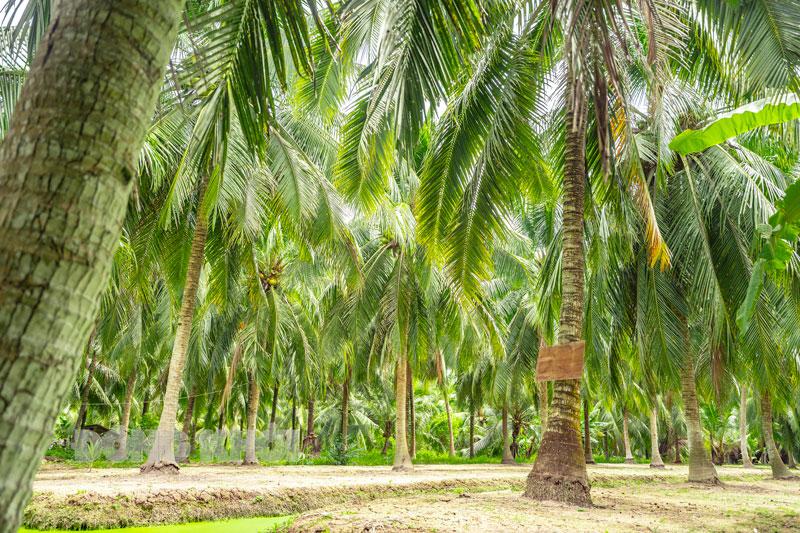 Diện tích trồng dừa toàn tỉnh tăng 2,27% so cùng kỳ năm 2020.