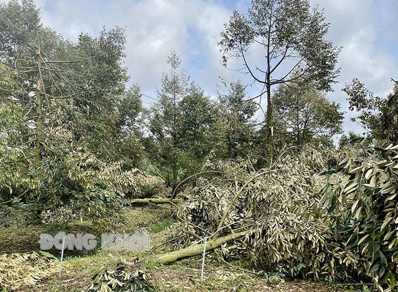 Dông, lốc làm gãy, đổ nhiều cây ăn trái ở xã Hòa Nghĩa. Ảnh: Cẩm Trúc