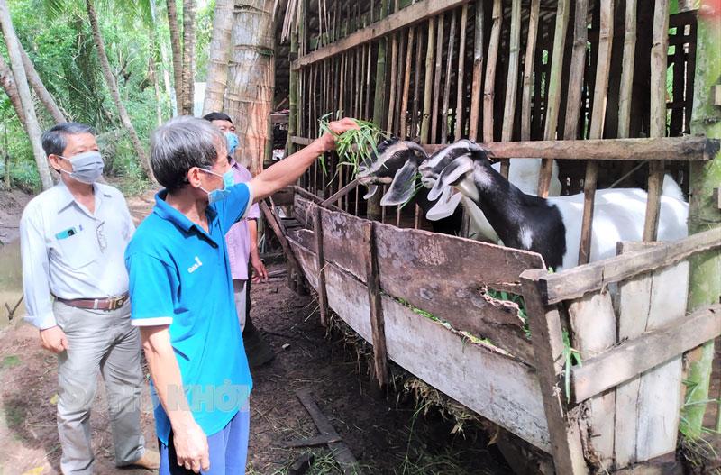 Mô hình hỗ trợ hội viên cựu chiến binh nuôi dê tại ấp Thanh Bình 1, xã Tân Thành Bình.