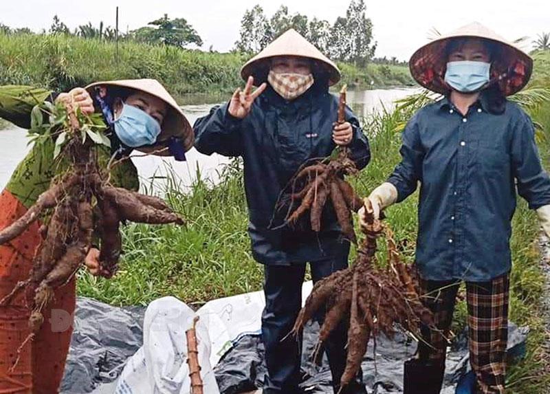 Chị Nguyễn Ngọc Khang cùng chị em phụ nữ trong ấp thu hoạch khoai mì gửi lực lượng chống dịch, người dân tại các khu phong tỏa.
