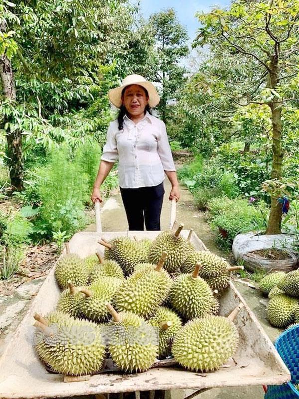 Sầu riêng xã Tân Phú chuẩn bị thu hoạch. Ảnh: Trúc Lan
